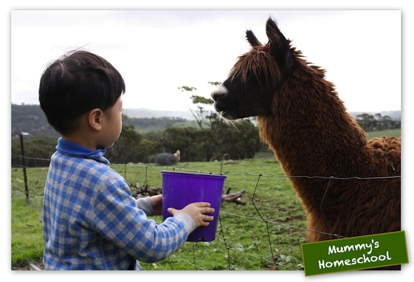 Vee 4 years 9 months feeding a llama in Perth's farm